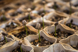 Coffee seedlings in pots image